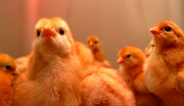 Stock photo baby chicks